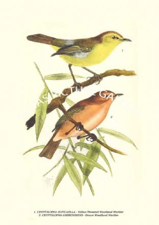 CRYPTOLOPHA RUFICAPILLA - Yellow-Throated Woodland Warbler, UMBROVIRENS - Brown Woodland Warbler
